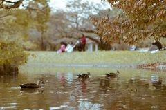 Πάπιες που κολυμπούν σε μια λίμνη που βρίσκεται στο δημοφιλές πάρκο Yoyogi, Shibuya, Τόκιο, στοκ φωτογραφίες