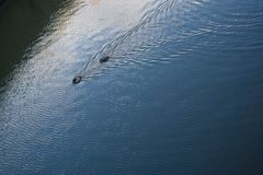 Πάπιες που κολυμπούν στους αφηρημένους κυματισμούς αντανάκλασης λιμνών στοκ εικόνες