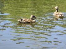Πάπιες που κολυμπούν στο νερό λιμνών Στοκ Φωτογραφία