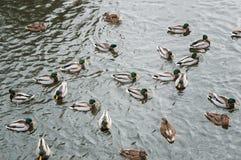 Πάπιες που κολυμπούν στο νερό στοκ εικόνες