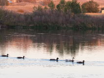 Πάπιες που κολυμπούν στον ποταμό Στοκ Εικόνες
