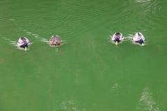 Πάπιες που κολυμπούν στον όμορφο ποταμό Στοκ φωτογραφίες με δικαίωμα ελεύθερης χρήσης