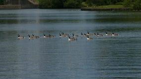 Πάπιες που κυλούν κάτω τη λίμνη ξένοιαστη στοκ εικόνα με δικαίωμα ελεύθερης χρήσης