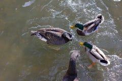 πάπιες που παλεύουν για τα τρόφιμα στην ηλιόλουστη ημέρα εμφάνισης ποταμών το Δεκέμβριο Στοκ φωτογραφία με δικαίωμα ελεύθερης χρήσης