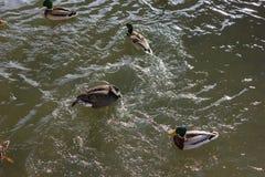 πάπιες που παλεύουν για τα τρόφιμα στην ηλιόλουστη ημέρα εμφάνισης ποταμών το Δεκέμβριο Στοκ Φωτογραφίες