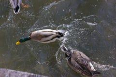 πάπιες που παλεύουν για τα τρόφιμα στην ηλιόλουστη ημέρα εμφάνισης ποταμών το Δεκέμβριο Στοκ φωτογραφίες με δικαίωμα ελεύθερης χρήσης
