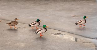 Πάπιες που χορεύουν στον πάγο στοκ εικόνες με δικαίωμα ελεύθερης χρήσης