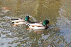 Πάπιες πρασινολαιμών σε έναν ποταμό Στοκ φωτογραφία με δικαίωμα ελεύθερης χρήσης