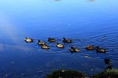 Πάπιες πρασινολαιμών στο φωτεινό μπλε νερό Στοκ φωτογραφία με δικαίωμα ελεύθερης χρήσης