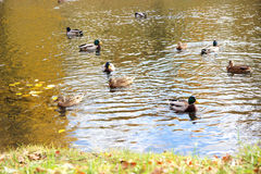 Πάπιες σε μια λίμνη Πάρκο φθινοπώρου Όμορφη λίμνη φθινοπώρου Στοκ Φωτογραφία