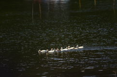 Πάπιες σε μια λίμνη στη Γουατεμάλα Στοκ Φωτογραφία