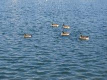 Πάπιες σε μια λίμνη Στοκ Εικόνα