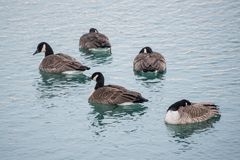 Πάπιες σε μια λίμνη Στοκ Εικόνες