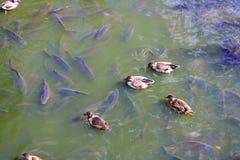Πάπιες σε μια λίμνη Φυσική σκηνή στοκ φωτογραφία