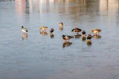 Πάπιες σε μια παγωμένη λίμνη στοκ φωτογραφία με δικαίωμα ελεύθερης χρήσης