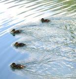 Πάπιες στη λίμνη Στοκ εικόνες με δικαίωμα ελεύθερης χρήσης