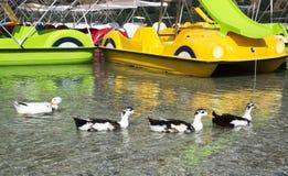 Πάπιες στη λίμνη Kurnas, το νησί της Κρήτης, Ελλάδα Στοκ Εικόνα