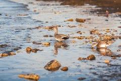 Πάπιες στη θάλασσα της Βαλτικής Στοκ φωτογραφία με δικαίωμα ελεύθερης χρήσης