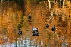 Πάπιες στη λίμνη αντανάκλασης πτώσης Στοκ Εικόνα