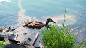 Πάπιες στη λίμνη, πάπιες που κολυμπούν στο νερό απόθεμα βίντεο