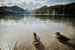 Πάπιες στη λίμνη σε Schloss Neuschwanstein στη Βαυαρία Γερμανία Στοκ εικόνες με δικαίωμα ελεύθερης χρήσης