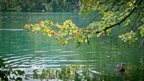 Πάπιες στις λίμνες Plitvice στην Κροατία απόθεμα βίντεο