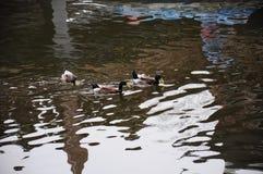 Πάπιες στον κήπο Yu Yuan, Σαγκάη, Κίνα Στοκ Φωτογραφίες