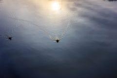 Πάπιες στον ποταμό νωρίς το πρωί Στοκ Εικόνες