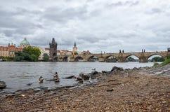 Πάπιες στον ποταμό Vltava στη γέφυρα του Charles υποβάθρου Στοκ Εικόνες