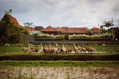 Πάπιες στον τομέα ρυζιού Στοκ Εικόνες