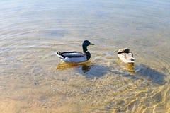 Πάπιες στο νερό στη λίμνη Στοκ Φωτογραφία