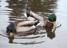 Πάπιες στο νερό Στοκ εικόνες με δικαίωμα ελεύθερης χρήσης