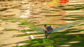 Πάπιες στο νερό Στοκ Εικόνες