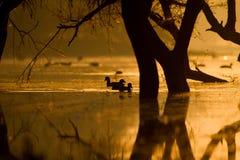 Πάπιες στο χρυσό φως σε μια λίμνη Στοκ Εικόνα