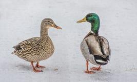 Πάπιες το χειμώνα Στοκ Εικόνα