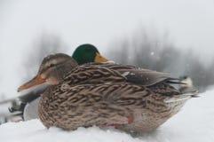 Πάπιες το χειμώνα Στοκ εικόνα με δικαίωμα ελεύθερης χρήσης