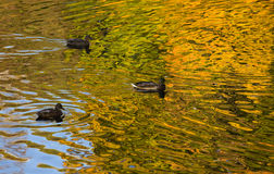 πάπιες φθινοπώρου Στοκ φωτογραφίες με δικαίωμα ελεύθερης χρήσης