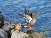 πάπιες δύο άγρια περιοχές Στοκ φωτογραφία με δικαίωμα ελεύθερης χρήσης