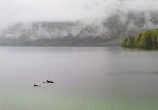 πάπιες leke Στοκ εικόνες με δικαίωμα ελεύθερης χρήσης