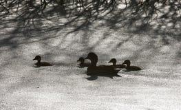 Πάπιες Sillouette σε μια λίμνη Στοκ Φωτογραφία