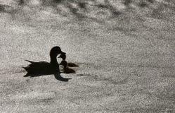 Πάπιες Sillouette σε μια λίμνη Στοκ φωτογραφίες με δικαίωμα ελεύθερης χρήσης
