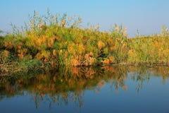 Πάπυρος στον ποταμό Kwando Στοκ εικόνα με δικαίωμα ελεύθερης χρήσης