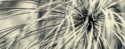 πάπυρος Στοκ φωτογραφίες με δικαίωμα ελεύθερης χρήσης