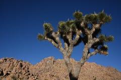 Πάρκο δέντρων του Joshua Στοκ Εικόνα