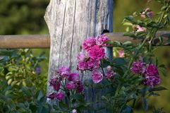 Πάρκο εννέα της Elizabeth Rose Garden Στοκ εικόνα με δικαίωμα ελεύθερης χρήσης