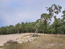 Πάρκο με το πεύκο και την άμμο, τις λεπτομέρειες και την κινηματογράφηση σε πρώτο πλάνο στοκ εικόνα με δικαίωμα ελεύθερης χρήσης