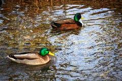 Πάρκο πόλεων το χειμώνα Οι πάπιες κολυμπούν σε έναν κρύο ποταμό Στοκ Φωτογραφία