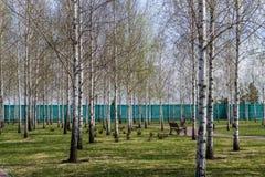 Πάρκο σημύδων στην Ουκρανία Στοκ Εικόνα