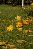 Πάρκο φθινοπώρου, ανθοδέσμη των τριαντάφυλλων που γίνονται από τα πεσμένα φύλλα σφενδάμου, επάνω Στοκ φωτογραφία με δικαίωμα ελεύθερης χρήσης