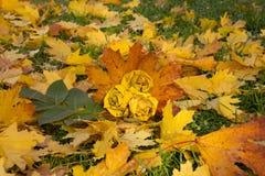 Πάρκο φθινοπώρου, ανθοδέσμη των τριαντάφυλλων που γίνονται από τα πεσμένα φύλλα σφενδάμου, επάνω Στοκ Εικόνες